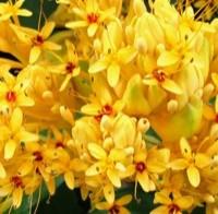 Saraca flowers
